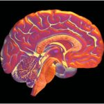 Growing brains within the lab – scientific american